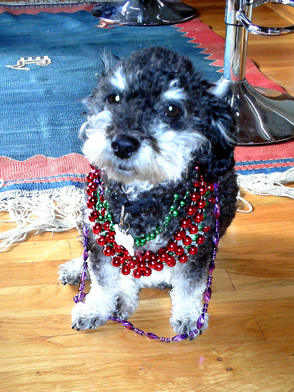 Willie is ready for the Mardi Gras Parade