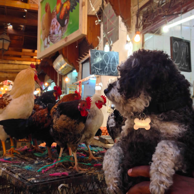 Willie watches the chickens in the farmers market of Fes Morocco