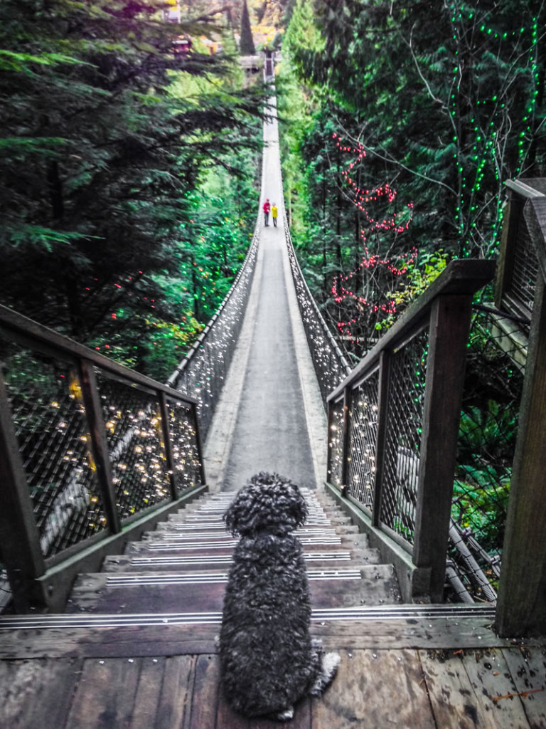 Willie at The Capilano Suspension Bridge in Vancouver British Colombia