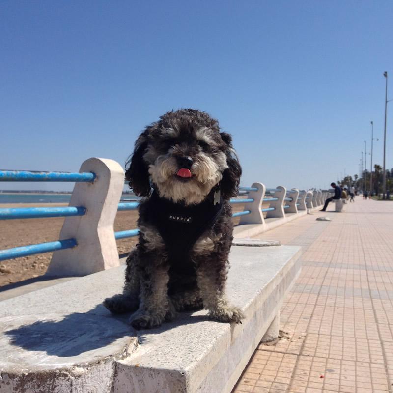 Willie walking the boardwalk in El Jadida Morocco