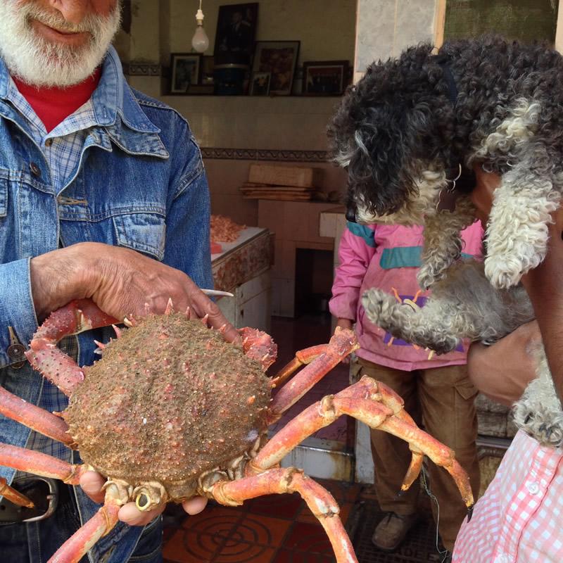 Willie meets a king crab in El Jadida Morocco