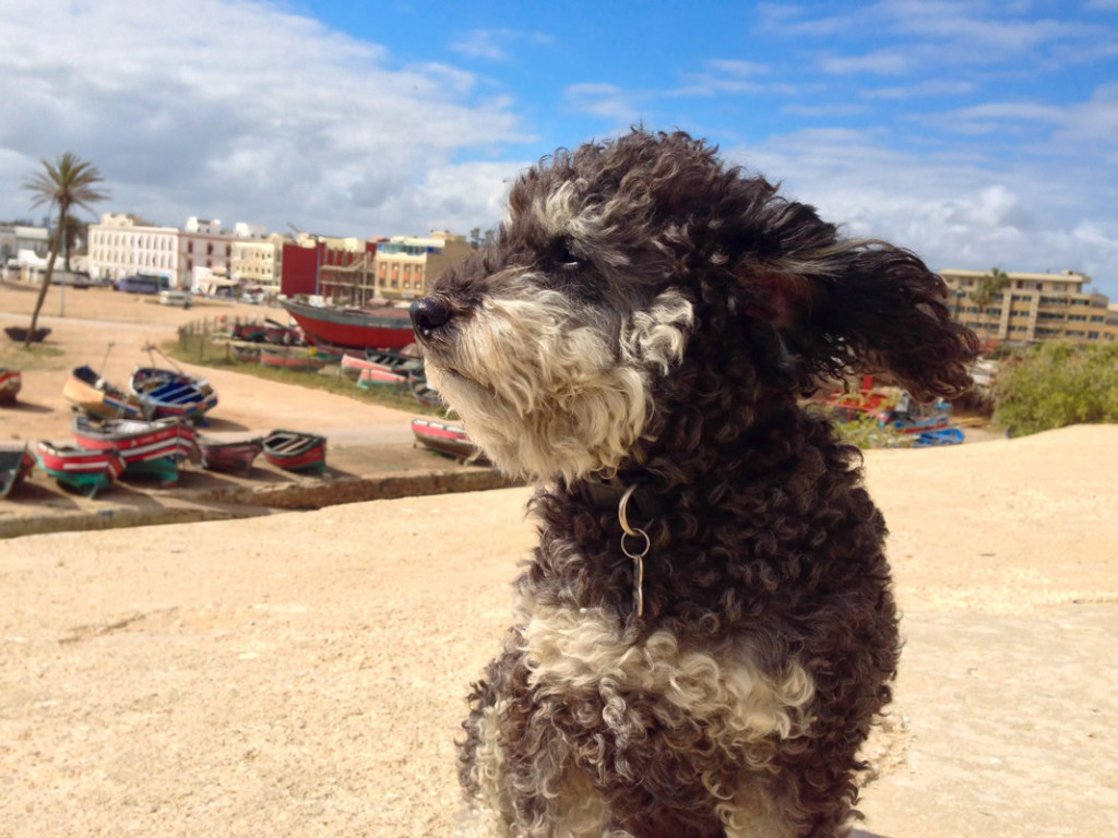 Willie sits on top of the old city wall in El Jadida Morocco