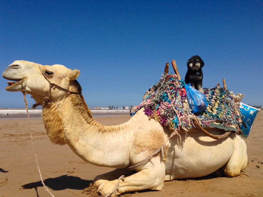 Willie takes a ride on a camel in Essaouira Morocco