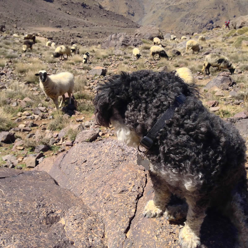 Willie meets a herd of sheep in the Atlas Mountains in Imlil Morocco