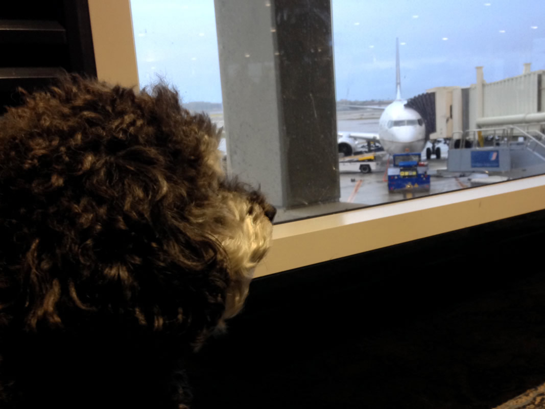 Willie waits to board his flight in Dulles International Airport in Washington DC