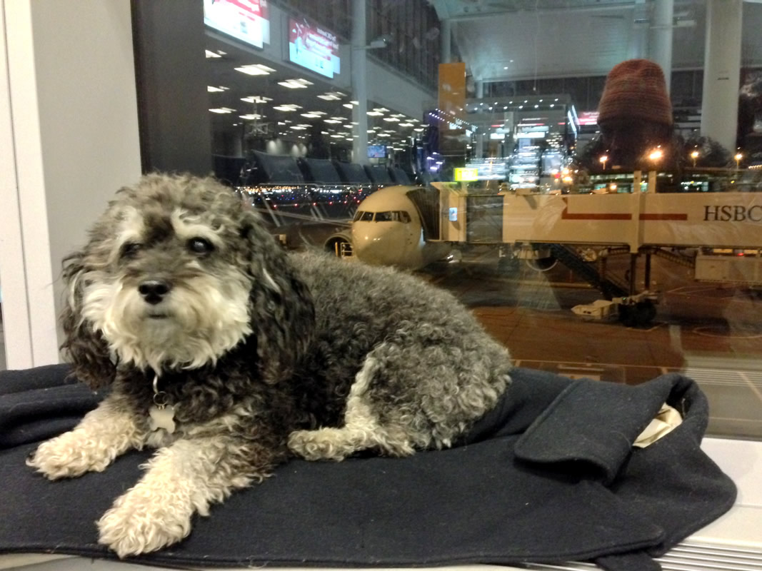 Willie on a layover at Chicago O'Hare Airport