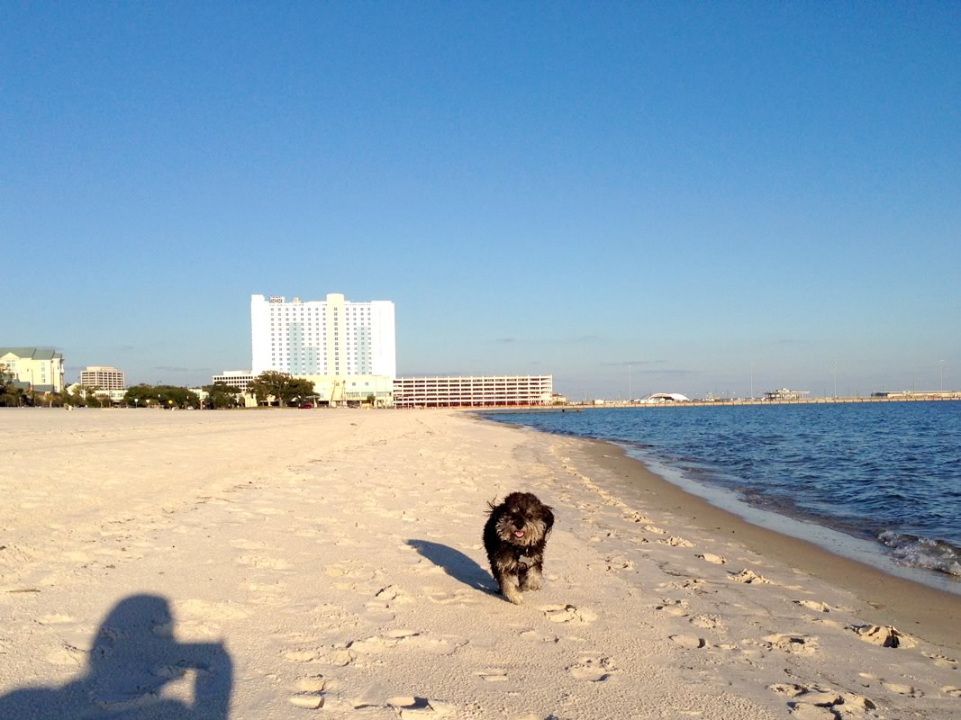 Willie takes a walk on Gulfport Beach in Mississippi