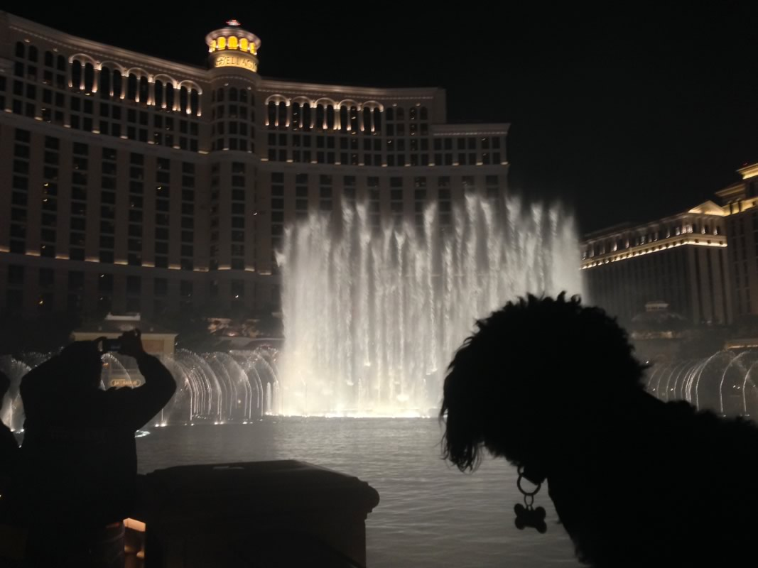 Willie watches the fountain show outside the Bellagio in Las Vegas
