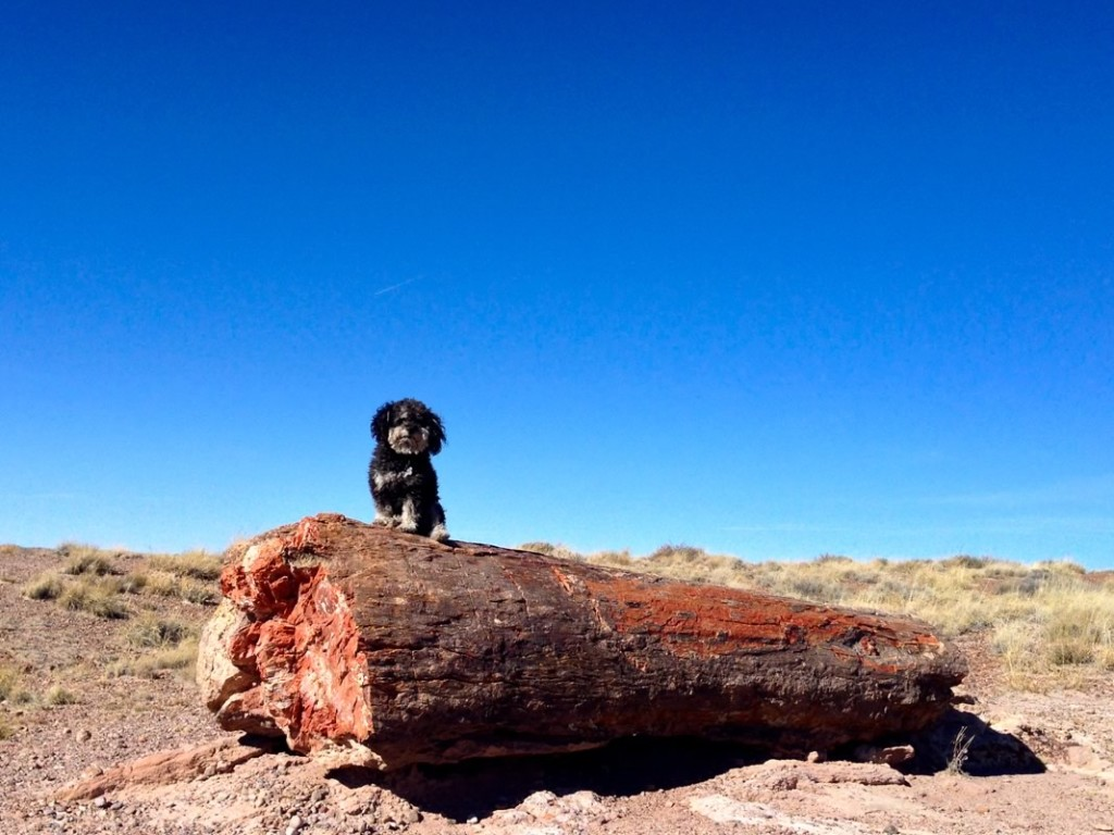 Willie at the Petrified Forest National Park in Arizona