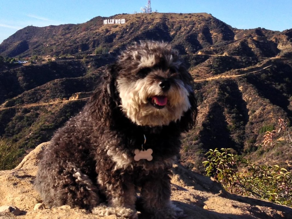 Willie at the Hollywood sign in California