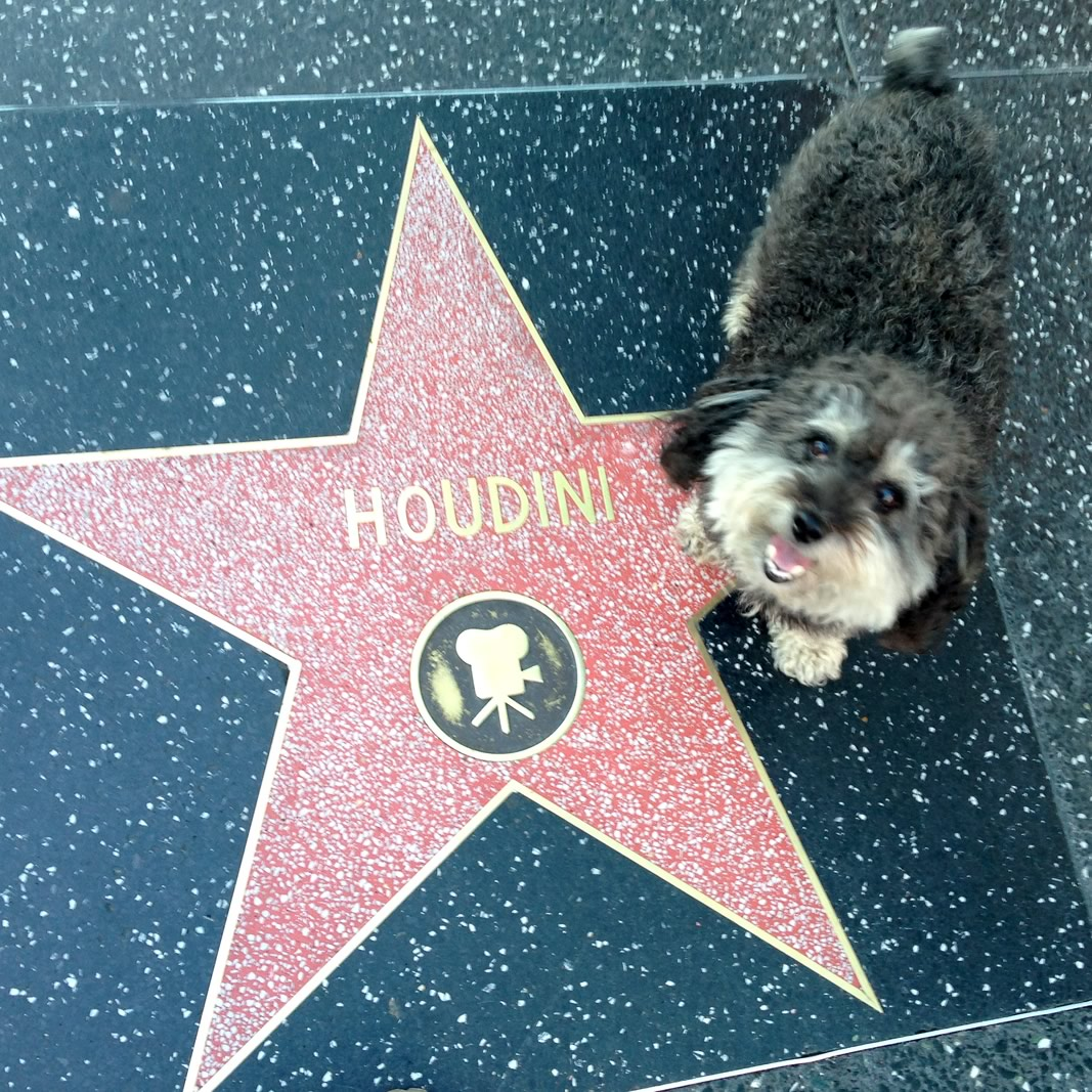 Willie at Houdini's star on the Hollywood Walk of Fame