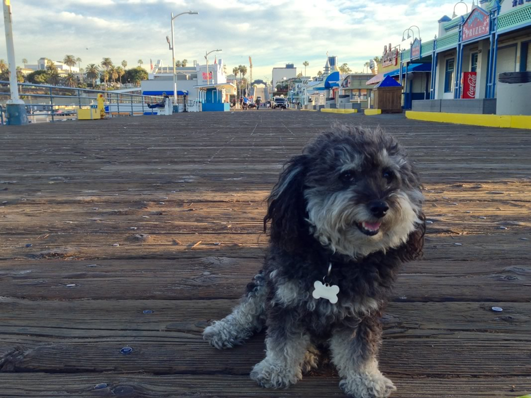 Willie at the Santa Monica pier