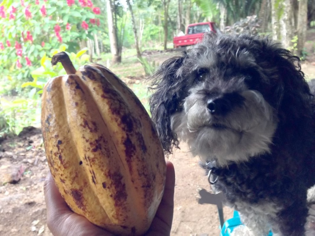 Willie with a freshly picked cocoa on the farm in San Antonio Belize