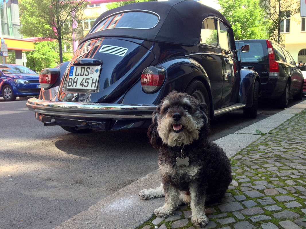 Willie in front of a classic VW Beetle in Berlin Germany