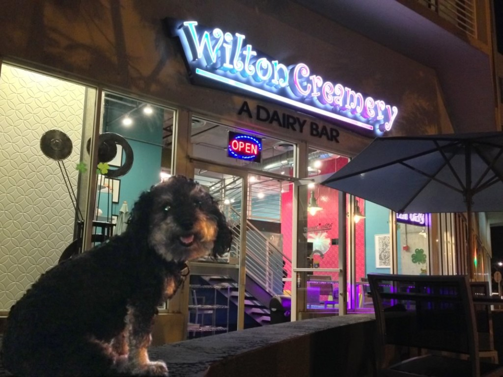Willie waits for some ice cream at the Wilton Creamery in Wilton Manors Florida