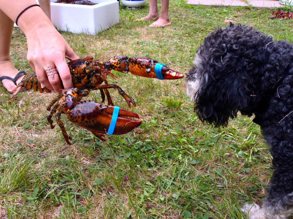 Willie meets a lobster in Prince Edward Island