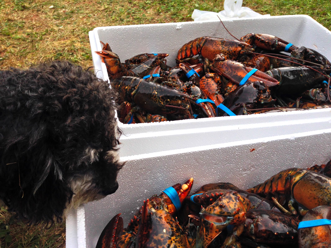 Willie inspects fresh caught lobsters in Prince Edward Island