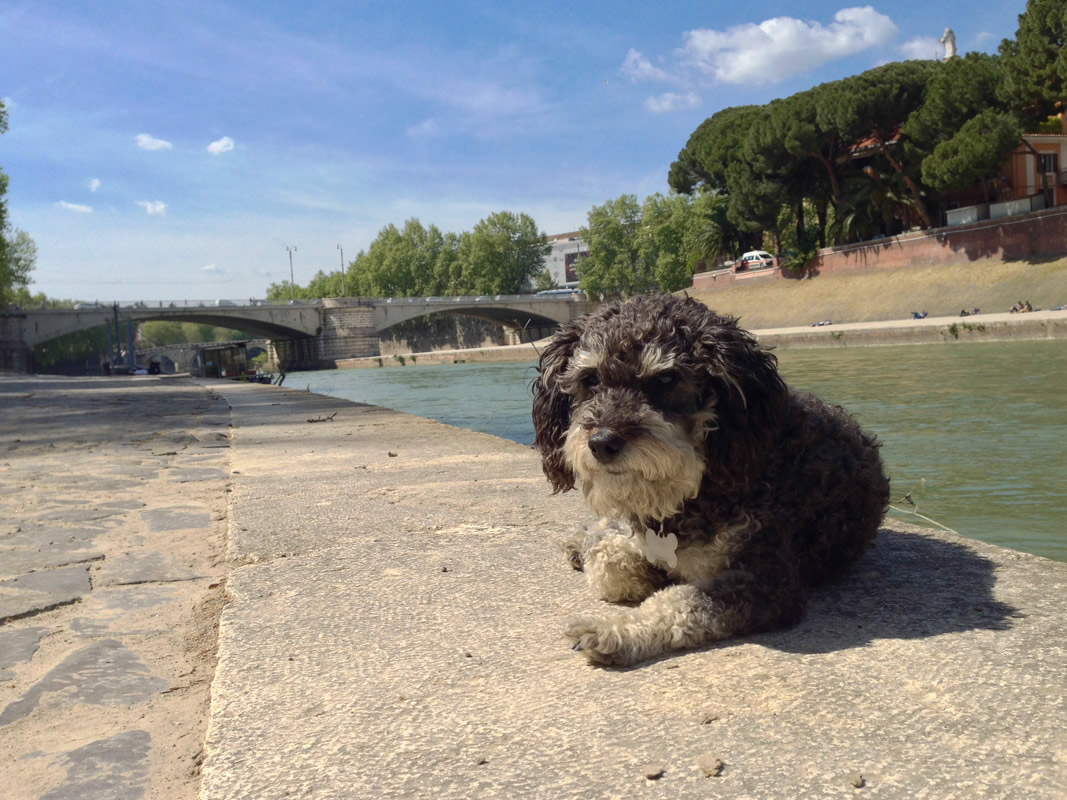 Willie take a break next to the Tiber River - Fiume Tevere in Rome Italy